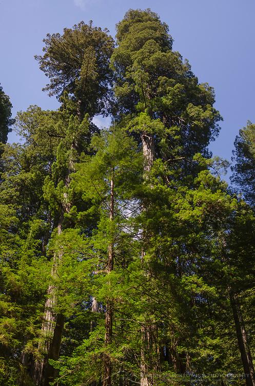 Coast Redwoods (Sequoia sempervirens) forest, Lady Bird Johnson Grove, Redwoods National Park, California