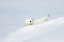 An arctic fox (Vulpes lagopus) rolls in the snow while looking at the camera, Svalbard, Norway