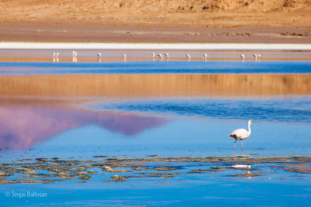 A lone flamingo walks while it eats microscopic animals in the high-altitude Sud Lipez regin of the Altiplano in  southwestern Bolivia.