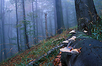 Carpathian beech forest, Chryszczata Mountain, Poland