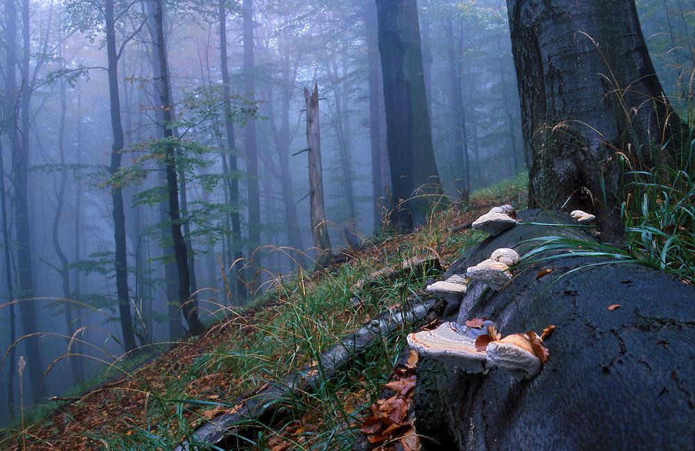 Carpathian beech forest, Chryszczata Mountain, Poland