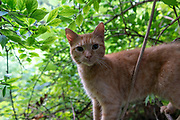 Domestic Shorthair tabby cat. Columbus, Ohio, USA. August 2016