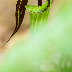 Jack in the Pulpit, Arisaema triphyllum, blooming in a hardwood forest in Epping, New Hampshire.