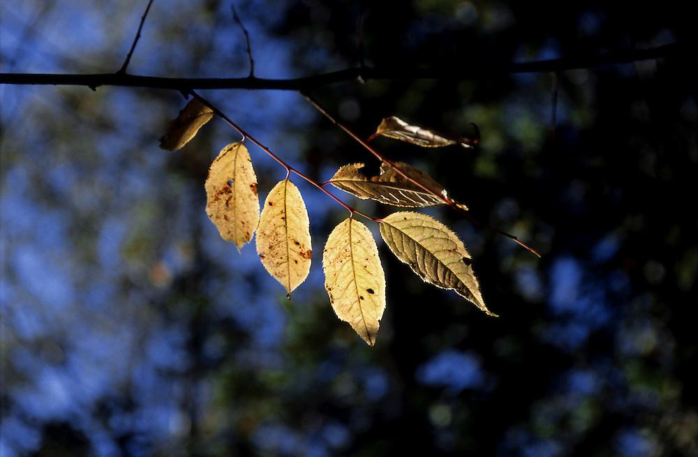 Japan, Gifu, Shinhodaka. October/17/2004...The sun illuminates leaves yet to fall during the Autumn season in Japan.