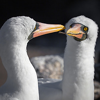 Nazca Booby at the Galapagos Islands