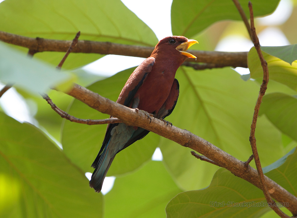 Broad-billed Roller, Eurystomus glaucurus, Madagascar, by Paul Ellis