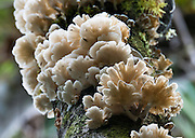 White fungi radiates from a tree trunk in Bellavista Cloud Forest Reserve, near Quito, Ecuador, South America.