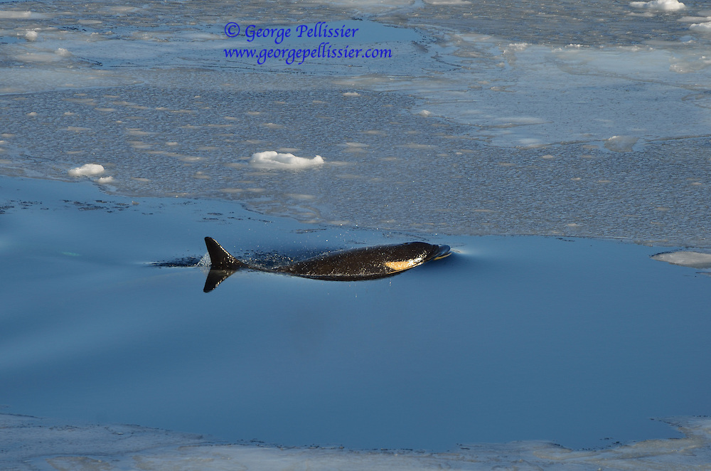 A young female Orca from the Ross Sea Pod surfaces in McMurdo Sound, Antarctica.