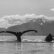 The flukes of a humpback whales' flukes during sounding is one of the most graceful, aerodynamic shapes in the animal kingdom. I never tired of observing and photographing that hypnotically beautiful form and motion that delighted the eye from every conceivable angle. It was an advantageous benefit to be photographing them from the low sea-level angle from a kayak. The low angle helps to silhouette them against the distant background, creating a greater sense of drama and perspective rather than just against the water. That is very noticeable if you compare photos taken from a kayak and a boat.