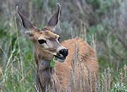 A mule deer (Odocoileus hemionus) munches on leaves in a meadow in Yellowstone National Park, Wyoming.