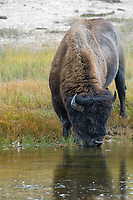American Bison (Bison bison), Yellowstone National Park, Wyoming, USA