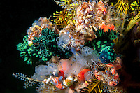 Nembrotha Nudibranchs feed on tunicates...Shot in Indonesia