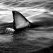 Gansbaai Syd Afrika 2003 <br /> South Africa<br /> <br /> i vattnen utanf&ouml;r Gansbaai finns det massor av vit hajar <br /> hajfena great white shark sharkfin<br /> hav indiska oceanen<br /> <br /> <br /> FOTO : JOACHIM NYWALL KOD 0708840825_1<br /> COPYRIGHT JOACHIM NYWALL<br /> <br /> ***BETALBILD***<br /> Redovisas till <br /> NYWALL MEDIA AB<br /> Strandgatan 30<br /> 461 31 Trollh&auml;ttan<br /> Prislista enl BLF , om inget annat avtalas.