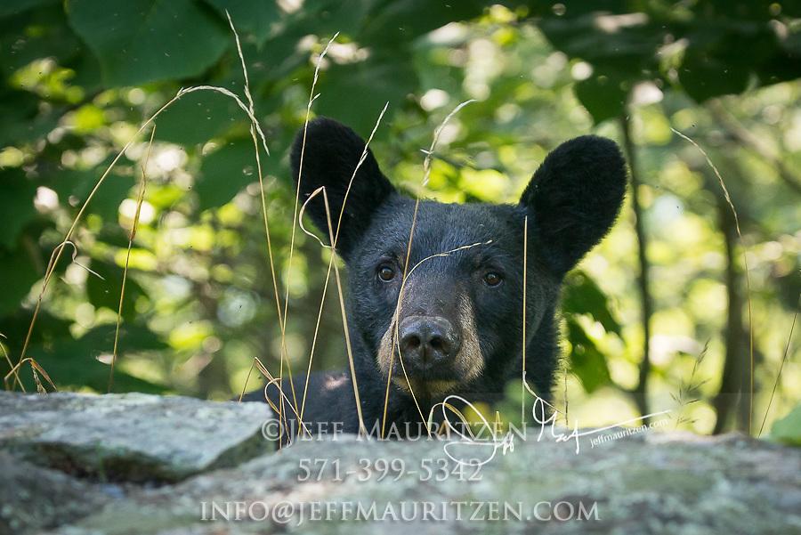 An American black bear (Ursus americanus) peaks its head over the rock wall along Skyline Drive, Shenandoah National Park, Virginia.