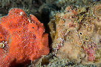 Painted Frogfish pair, face to face<br /> <br /> Shot in Indonesia