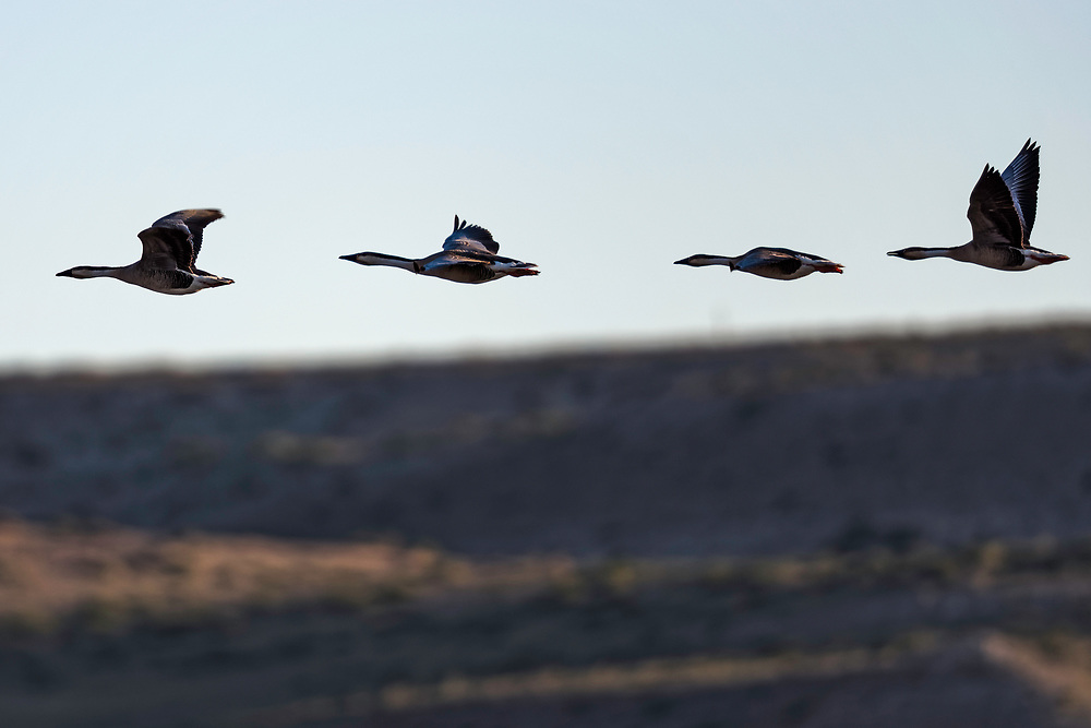 Swan geese flying in a line above desert, central Inner Mongolia, China. 列队飞行的鸿雁,内蒙古中部,中国。