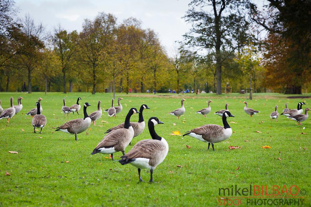 Canada goose flock. Round Pond. Kensington Gardens. London, England, United kingdom, Europe.