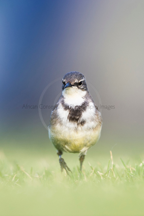 Cape Wagtail searching for food on a green lawn, Garden Route National Park, Eastern Cape, South Africa,