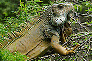 Close up of a male green iguana (iguana Iguana) with spines and dewlap Photographed in Ecuador