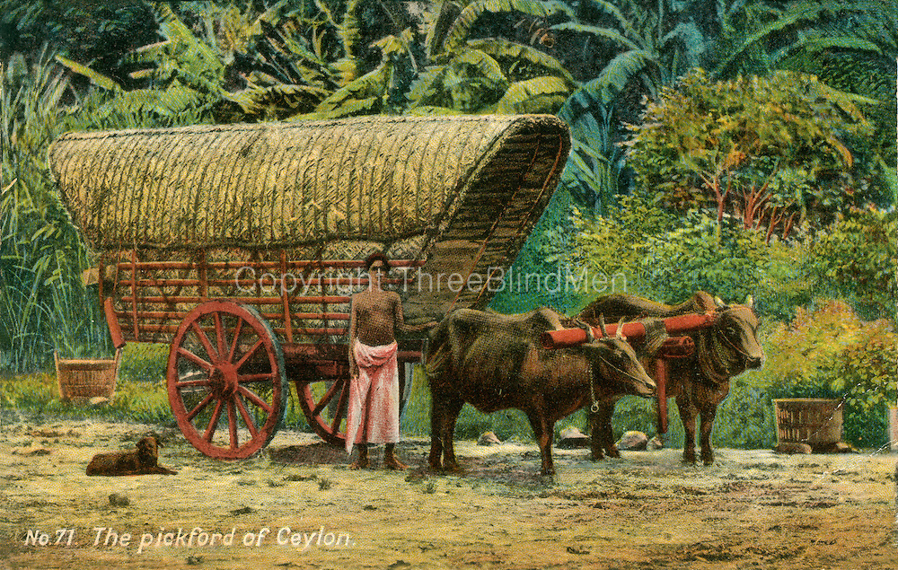 Old Postcard. The Pickford of Ceylon. Bullock Cart