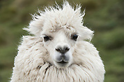 Alpaca (Vicugna pacos)<br /> Condor Bioreserve as part of the Antisana Ecological Reserve<br /> ECUADOR, South America<br /> Last erupted between 1801 and 1802
