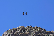 GOBI DESERT, MONGOLIA..08/23/2001.Gobi Gurvansaikhan National Park..Black vultures at Yolyn Am..(Photo by Heimo Aga)