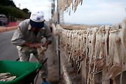 Korean fishermen hanging cuttlefish on lines to dry out / South Korea, Republic of Korea, KOR, 04 October 2009.