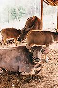 Water buffalo at Phunacome resort