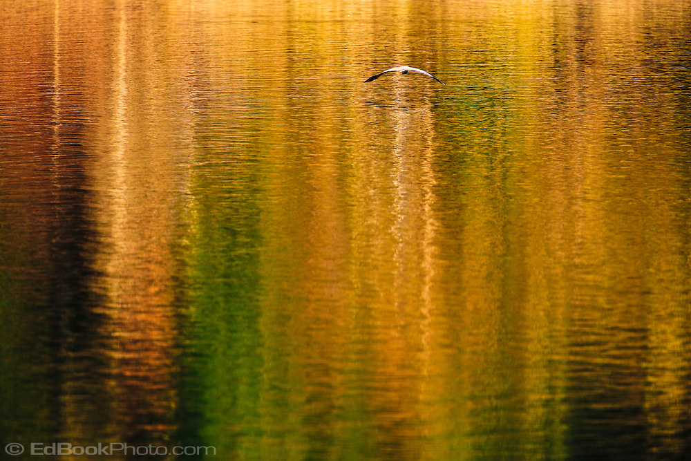 Colorful reflections ripple across Big Beef Creek at the Hood Canal on the Kitsap Peninsula of Puget Sound in Washington state, USA.  A Great Blue Heron flies across the rippling water.