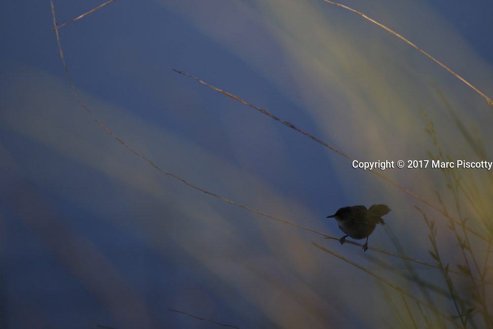 SHOT 6/30/17 5:55:21 AM - Bear River Migratory Bird Refuge is a 74,000-acre National Wildlife Refuge in Utah, established in 1928. The refuge encompasses the Bear River and its delta where it flows into the northern part of the Great Salt Lake in eastern Box Elder County. The refuge includes the James V. Hansen Wildlife Education Center and a one-way 12 mile auto route. Also includes images of fruit stands along Utah's Fruit Belt and Peach City Restaurant in Brigham City. (Photo by Marc Piscotty / © 2017)