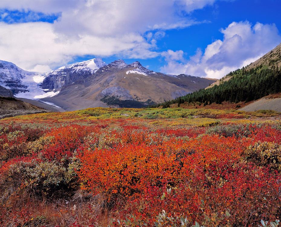 Huckleberries bloom deep crimson near the Columbia Icefields, Alberta, Canada. ©Ric Ergenbright