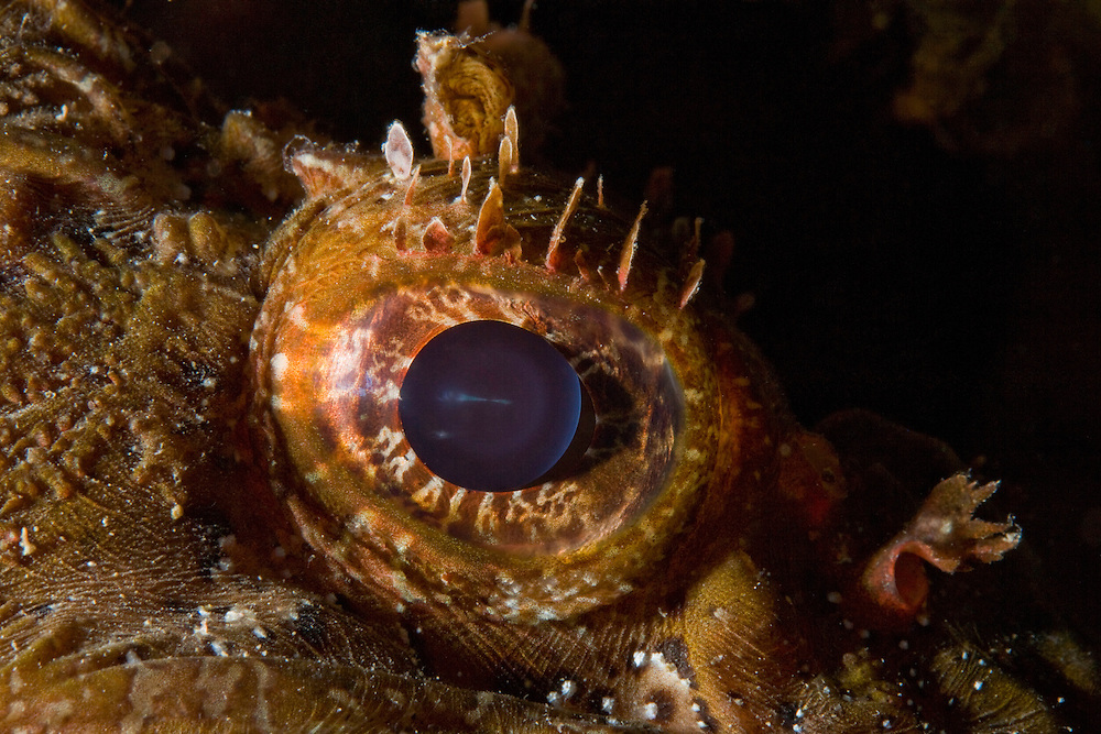 Detail of scorpionfish's eye (Scorpaena porcus) lying on the artificial reef, Larvotto Marine Reserve, Monaco, Mediterranean Sea<br /> Mission: Larvotto marine Reserve