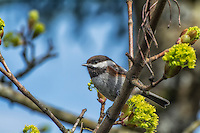 This small variety of chickadee is a very common springtime visitor to the maple tree in my backyard. Extremely bold for even other usually curious chickadees, this one will often land within arm's reach from me if I'm just minding my own business, reading a book on my own back porch.
