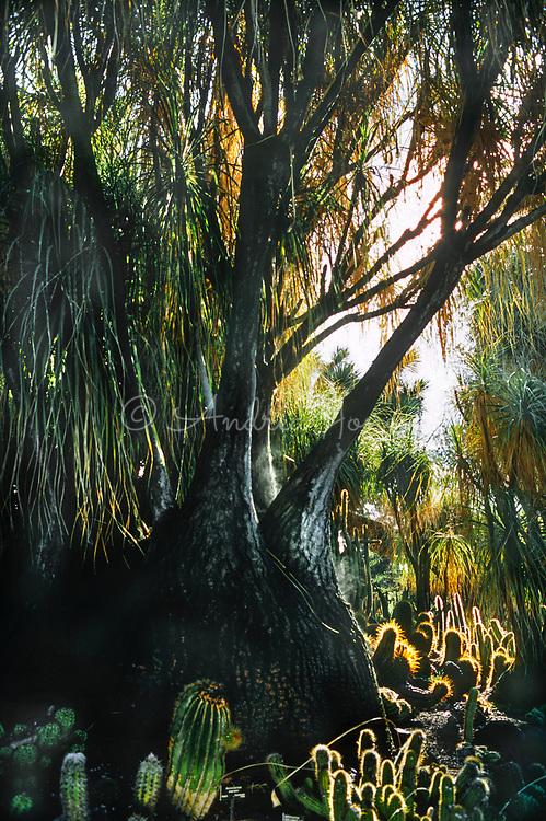 Beaucarnea recurvata at Huntington Botanic Garden, Los Angeles, California, USA