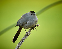 Gray Catbird on a twig. Image taken with a Nikon D5 camera and 600 mm f/4 VR lens (ISO 1600, 600 mm, f/5.6, 1/250 sec).