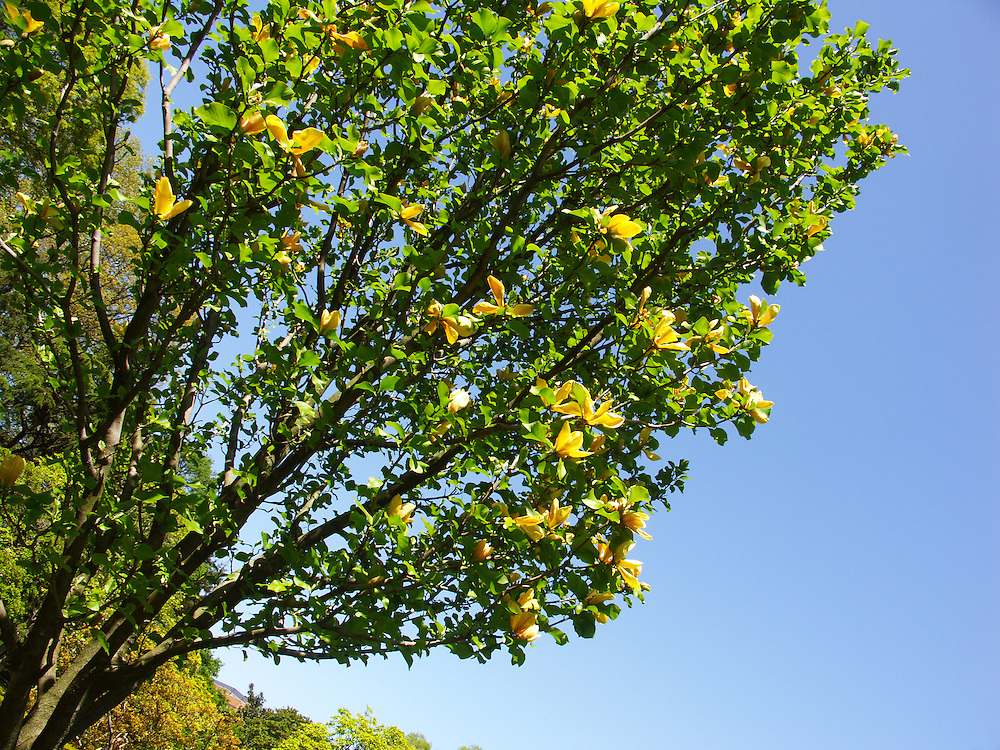 Yellow magnolia tree.