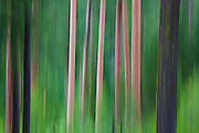 The trunks of ponderosa pine (Pinus ponderosa) and coast Douglas-fir (Pseudotsuga menziesii) blurred by camera motion, Okanogan National Forest, Washington.