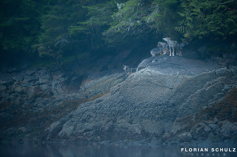 A pack of wolves howling at the the edge of the forest in the coastal inlets of British Columbia, Canada