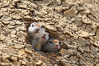 Curious baby Richardson's ground squirrels