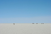 Vicuñas walk across the salt on the Salar de Uyuni, the world's largest salt flat, just outside of the town of Uyuni on Bolivia's Altiplano, at just over 3,600 metres above sea level