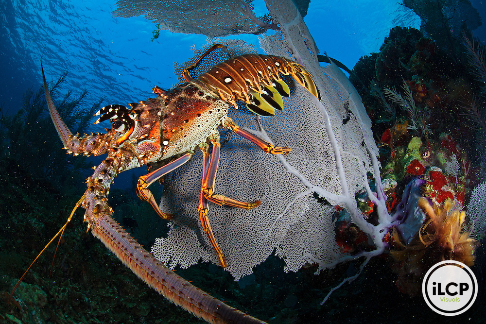 Caribbean Spiny Lobster (Panulirus argus) sits disoriented on top of a Common Sea Fan (Gorgonia ventallina) after being driven out of hiding by fisherman, Caribbean Spiny Lobster (Panulirus argus) fishery, near Southwest Cay, Utila Cays, Utila Island, Bay Islands, Honduras, April