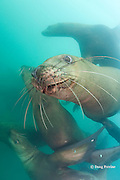 young Steller's sea lions, or Steller sea lion, or northern sea lion, Eumetopias jubatus (an Endangered Species in the western part of its range, and Threatened in the eastern portion), Glacier Island, Columbia Bay, Alaska, United States of America ( Prince William Sound )