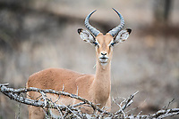 Sub-adult Impala ram, Kruger National Park, Limpopo, South Africa
