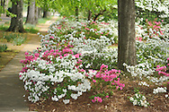 Azaleas in bloom on North Lamar in Oxford, Miss. on Wednesday, April 17, 2013.
