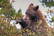 Cinnamon phase black bear in habitat