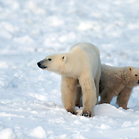 Cape Churchill Polar Bears Tundra Lodge