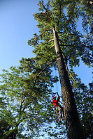 Forester climbs a pine tree in Schenck Forest.
