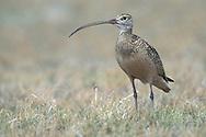 Long-billed Curlew - Numenius americanus