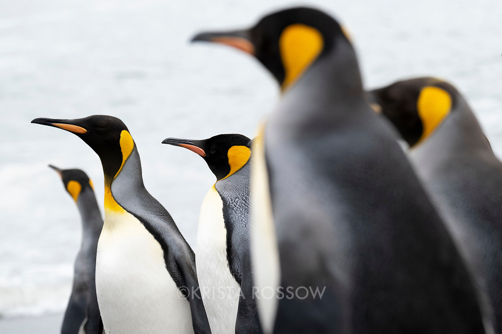 King penguins at Saint Andrews Bay on the north coast of South Georgia Island.
