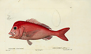 Chrysophrys from Histoire naturelle des poissons (Natural History of Fish) is a 22-volume treatment of ichthyology published in 1828-1849 by the French savant Georges Cuvier (1769-1832) and his student and successor Achille Valenciennes (1794-1865).